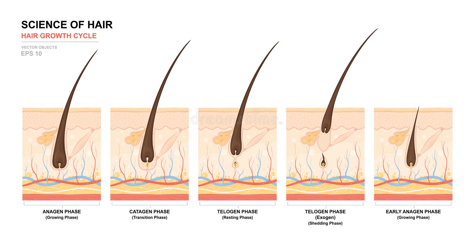 Anatomical training poster. Hair growth phase step by step. Stages of the hair growth cycle. Anagen, telogen, catagen vector illustration
