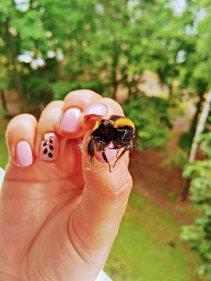 Bumblebee fell into the hands of a woman. Nails with a beautiful manicure keep the insect. royalty free stock images