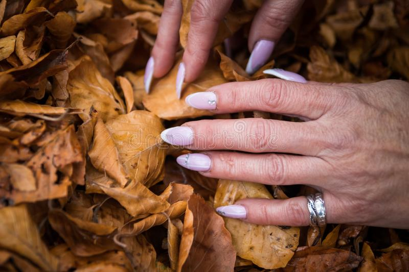 Woman`s hands with manicured nails collect fallen leaves stock images